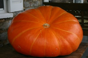 The 500 Pound Pumpkin before Todd's Carving