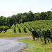 Linden Vineyards in Virginia