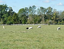 Farmland filled with grazing sheep