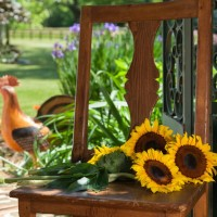 Sunflowers rest on a chair