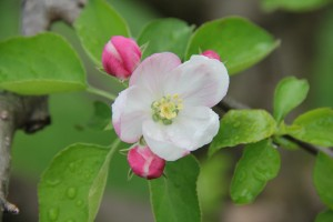 Apple Blossom Time in the Orchard