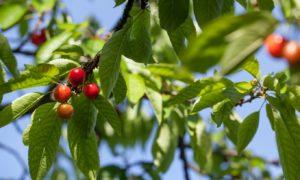 Fruit on a Tree in Virginia