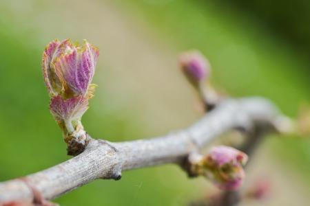 Buds in a vineyard