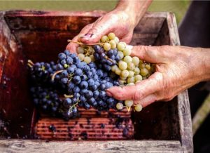 hands holding wine grapes