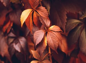 Close up of Fall foliage leaves