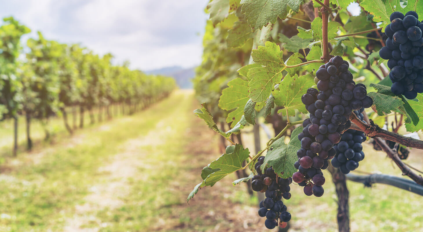 Grapes at a North Virginia vineyard